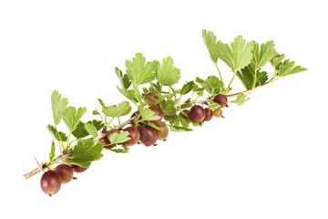 Red Gooseberry branch isolated on white background