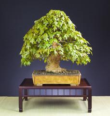 Bonsai Dreispitzahorn