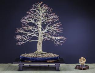 Bonsai Japanischer Fächerahorn