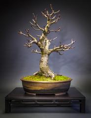 Bonsai Kastanie im Winter