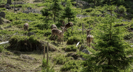 Group of deer - deer and several deer in a clearing in the woods on a summer day in a forest in Sumava, Bohemia.