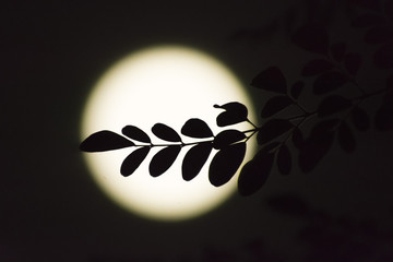 Silhouette of moringa leaves on the moon from the side