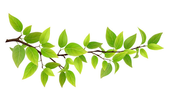 Small tree branch with green leaves. Detailed vector plant, isolated on white background.