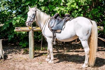 Le Camargue, cheval blanc camarguais
