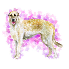 Watercolor closeup portrait of Irish Wolfhound breed dog isolated on abstract pink background. Large sighthound hunting dog posing at dog show. Hand drawn sweet home pet. Greeting card design clip art
