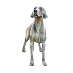 Watercolor closeup portrait of cute Weimaraner breed dog isolated on white background. Shorthair smooth large hunting dog posing at dog show. Hand drawn sweet home pet. Greeting card design. Clip art