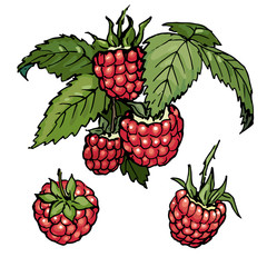 Raspberry. Berries with leaves. Color vector illustration.