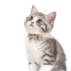 Grey kitten with a bow on his neck sitting on a white background