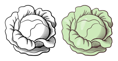 Stylized illustration of cabbage. Vector, isolated on white. Outline and colored version