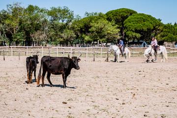 Les taureaux noirs camarguais dans l'enclos et leurs gardians