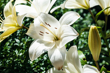 Stores photo Fleur de lis white flower of Lilium close up in green garden