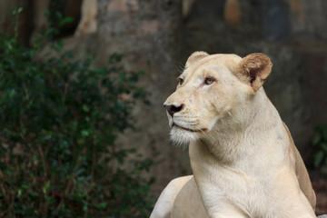female albino lions