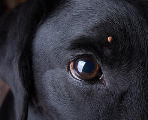 Tick on a Labrador