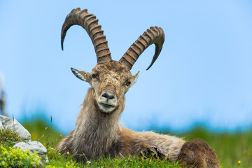 Natural alpine ibex sitting in meadow with blue sky Wall mural
