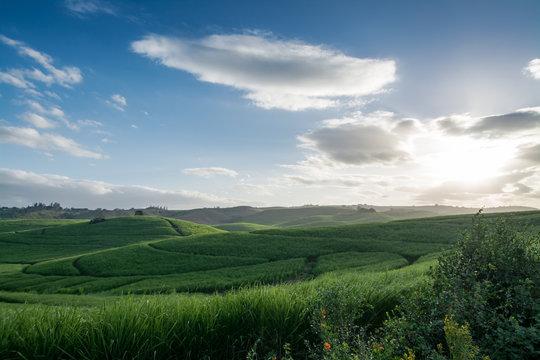 Sugar cane plantation in South Africa