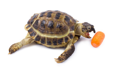 The turtle eats carrots.