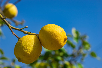 Fototapete - Zitronenbaum mit Zitronen Reif