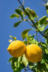 Fototapete - Zitrusfrüchte Zitronenbaum mit frischen Zitronen