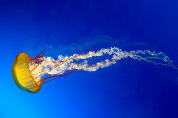 Japanese Sea Nettle jellyfish Wall mural