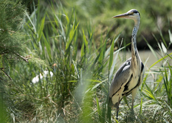Fotoväggar - Hunting Wild Grey Heron