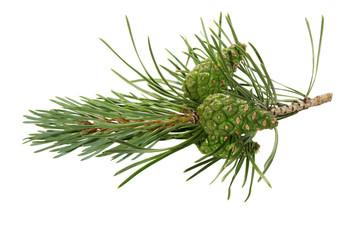 Green pine cones.