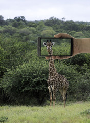 tourist making photo of giraffe