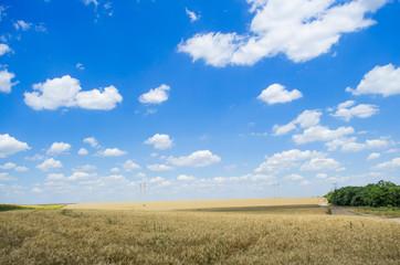 поле пшеницы и голубое небо