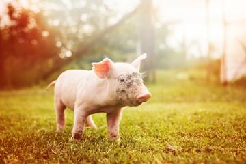 Adorable piglet on a garden lawn, running around.