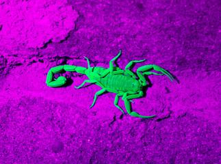 Arizona bark scorpion  Arizona bark scorpion in ultraviolet light