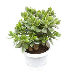 Crassula or dollar tree in the pot isolated on white background
