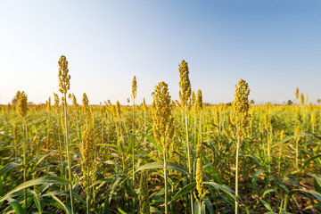 Selective soft focus of Sorghum field in sun light