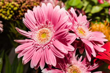 three pink gerberas