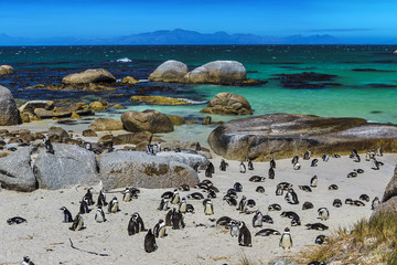 Poster Afrique du Sud Republic of South Africa. Simon's Town near Cape Town, Foxy Beach. Boulders Penguin Colony - The Africans Penguins (Spheniscus demersus, also known as Jackass Penguin and Black-footed Penguin)