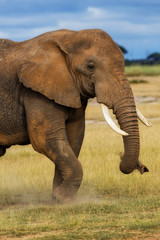 Wall Mural - Close-up of the front-side of an African Elephant eating grass in Amboseli National Park, Kenya