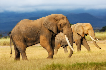 African Elephant bull with Elephant cow in the background in Amboseli National Park, Kenya