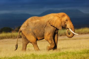 Wall Mural - Walking big Elephant in Amboseli National Park, Kenya