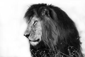 Wall Mural - Portrait of Lion Notch in Masai Mara, Kenya
