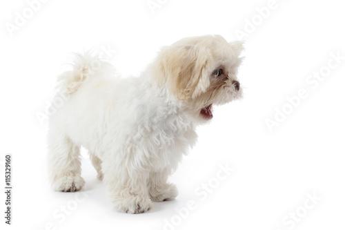 Jeune Chien Shih Tzu Beige Blanc Faisant Une Grimace Stock Photo