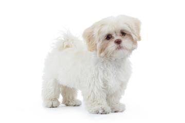 jeune chien shih tzu beige blanc