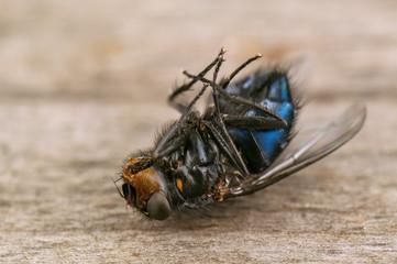 dead black fly