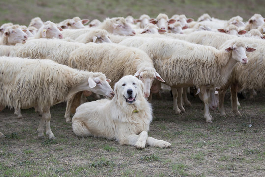 A shepherd dog in a tenderness moment with the sheep he guards. Boss, praising, gratitude, obedience, love, friendship, leadership, followers concepts