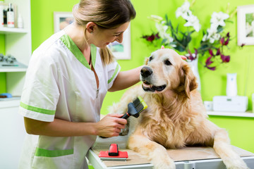 Woman getting Golden Retriever fur care at dog parlour