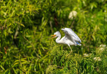 Wing Egret beak apart, wings partially spread, aggressive type pose in lush green foliage