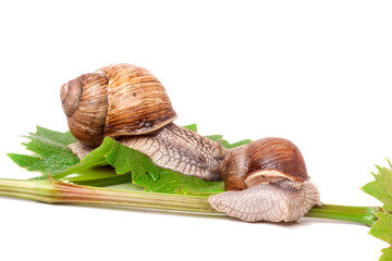two snails crawling on the vine with leaf white background