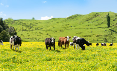 Hereford cattle grazing a field of yellow buttercup in front of green rolling New Zealand hills.