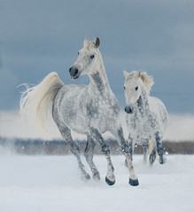 two white horses running free in the snow