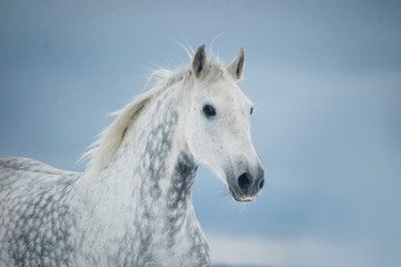 grey dappled horse winter portrait