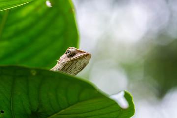 close up thai chameleon on leaves