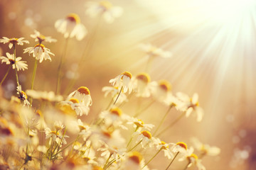 Affisch - Beautiful nature scene with blooming chamomiles in sun flares