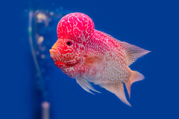 Close up Flowerhorn Cichlid fish on blue background